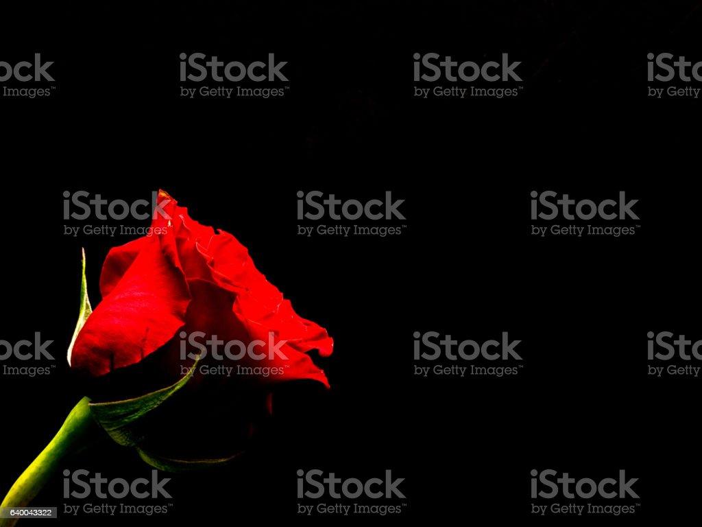 Single red rose, black background stock photo