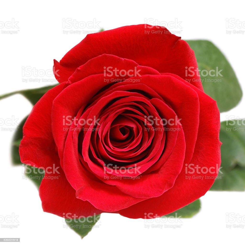 Single red rose bud on white stock photo