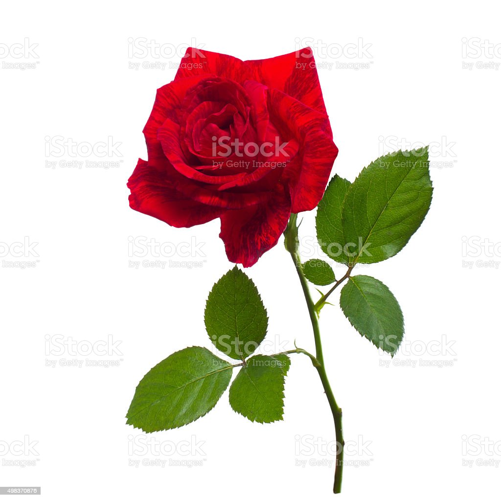 single red rose  isolated  background stock photo