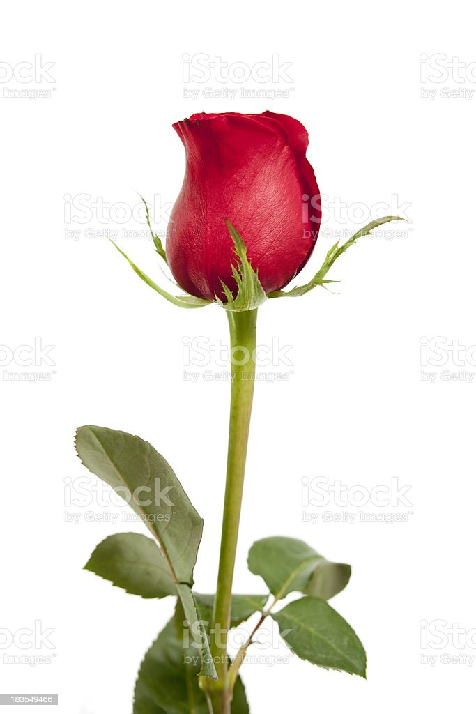 Single red rose isolated on white stock photo