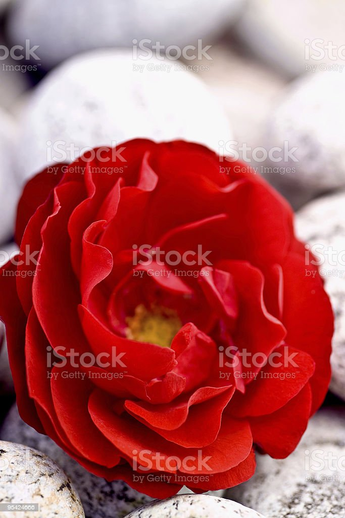 Single red rose on granite pebbles narrow focus stock photo
