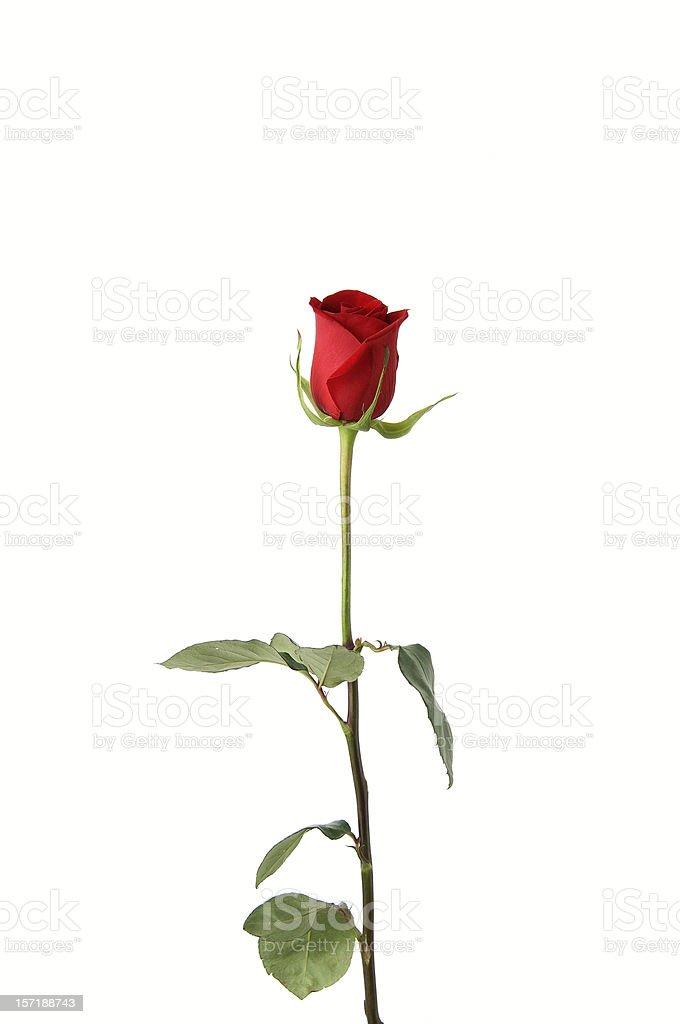 Single red rose on white background stock photo