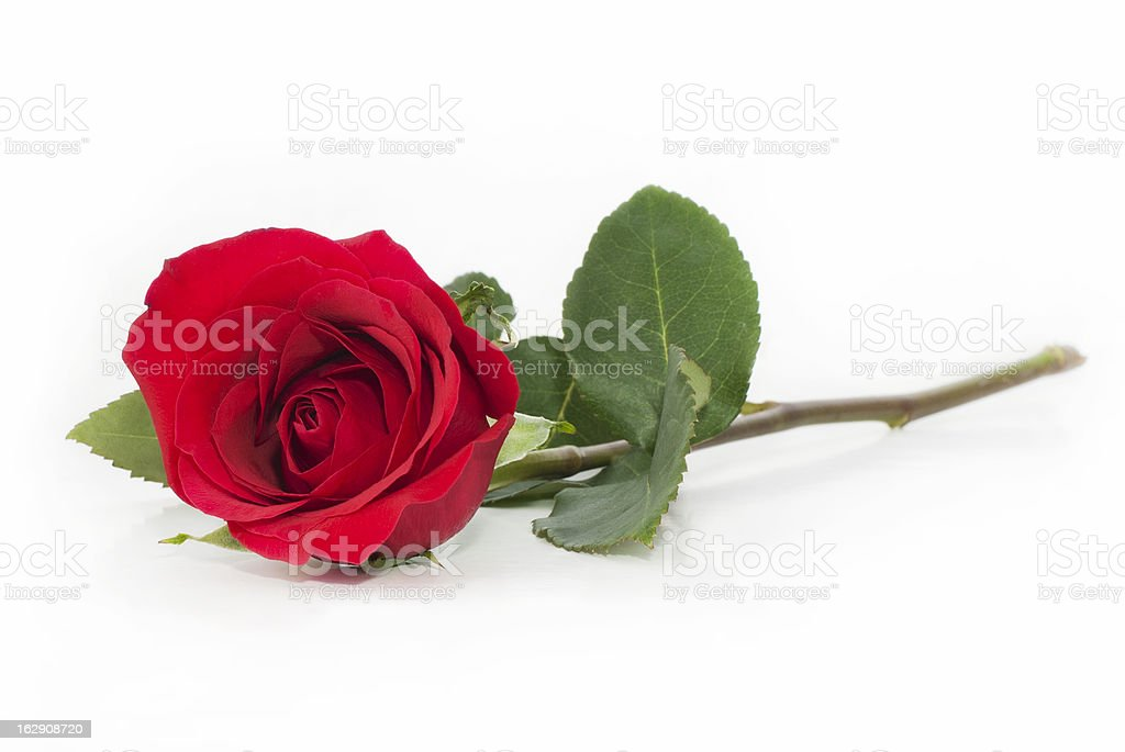 Single red rose on white background stock photo