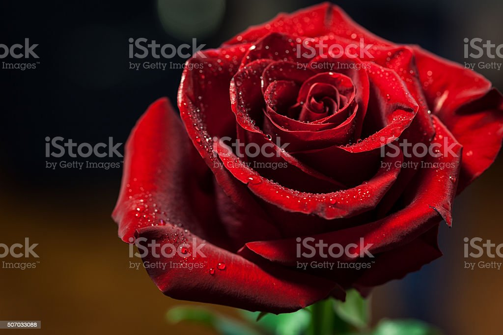 Single Red Rose stock photo