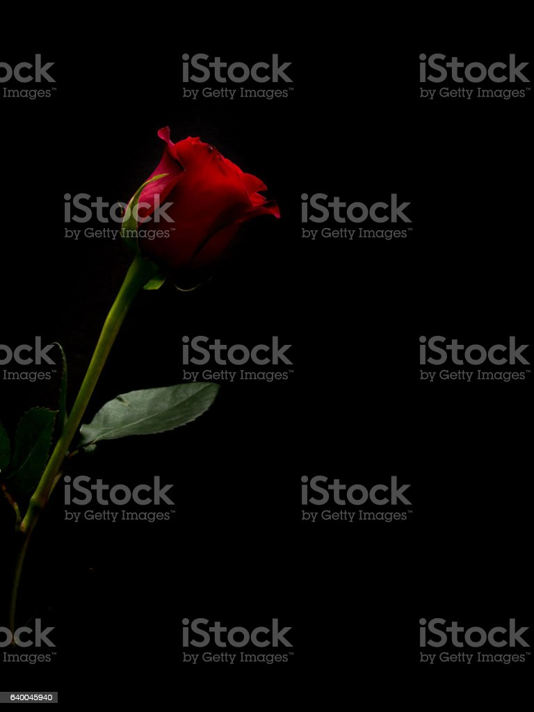 Single red rose with black copy space stock photo