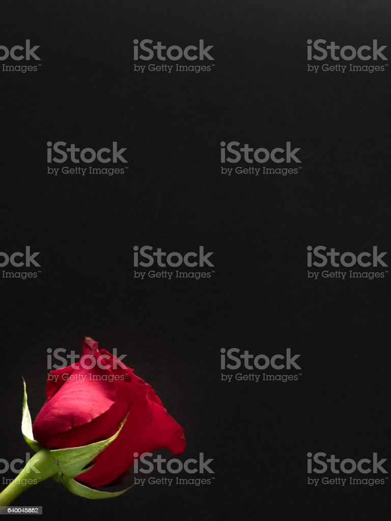 Single red rose with copy space on black background stock photo