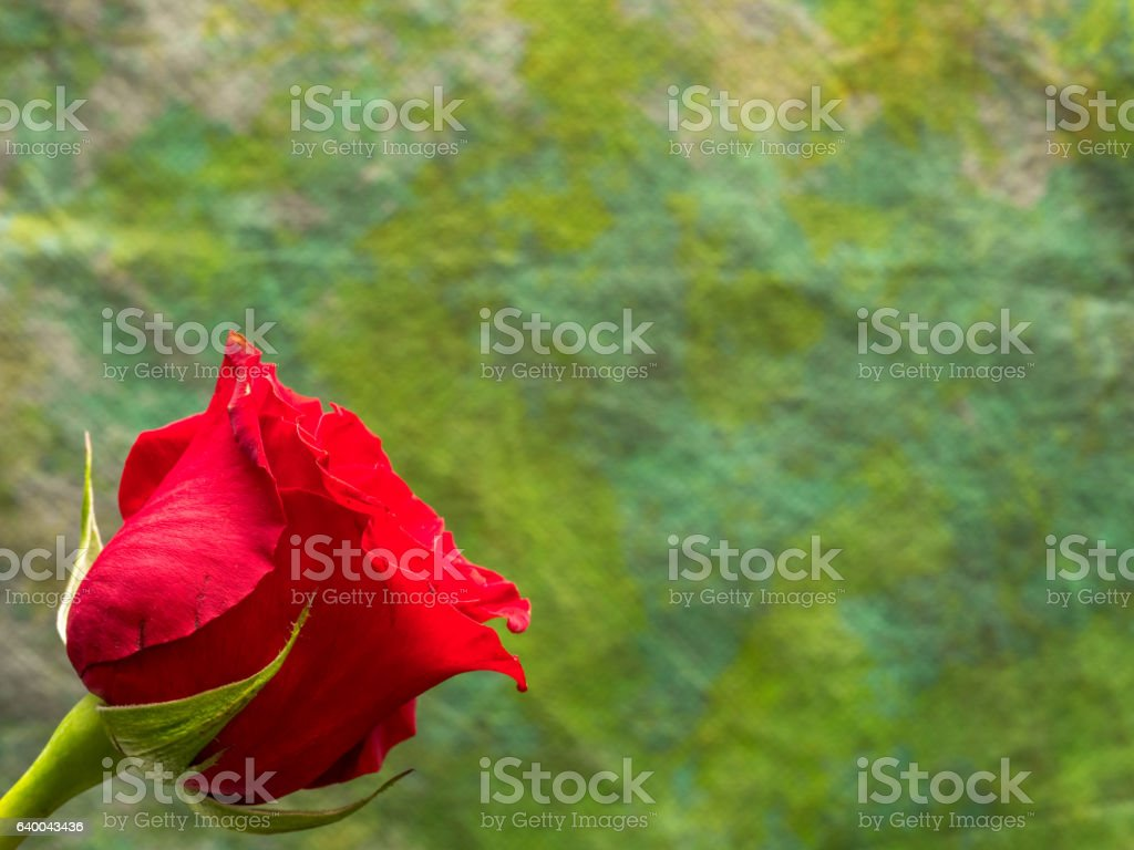 Single red rose with yellow and green background stock photo