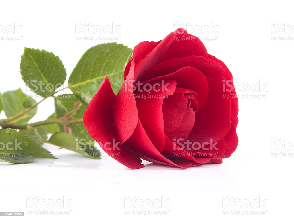single red roses stock photo