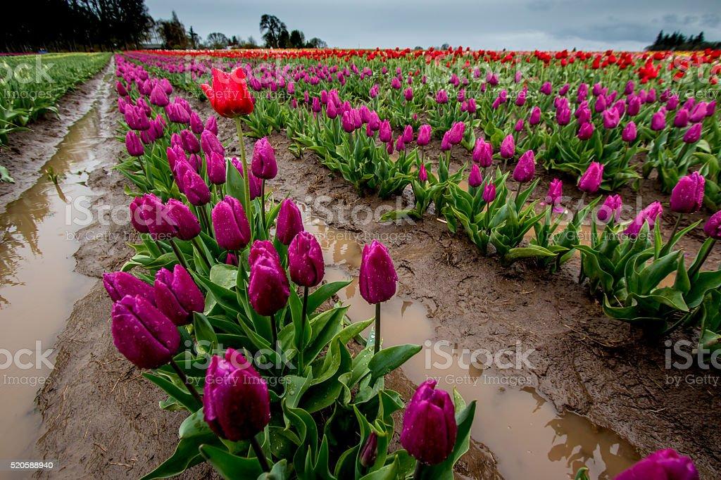 Single Red Tulip Amongst Rows Purple Spring Flowers Portland Oregon stock photo