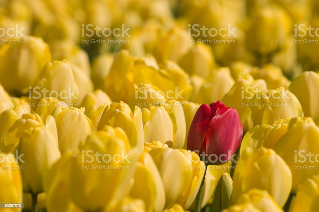 single red tulip in a field of yellow tulips royalty-free stock photo