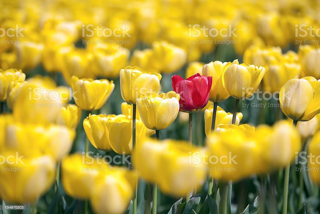 Single red tulip in field of yellow stock photo