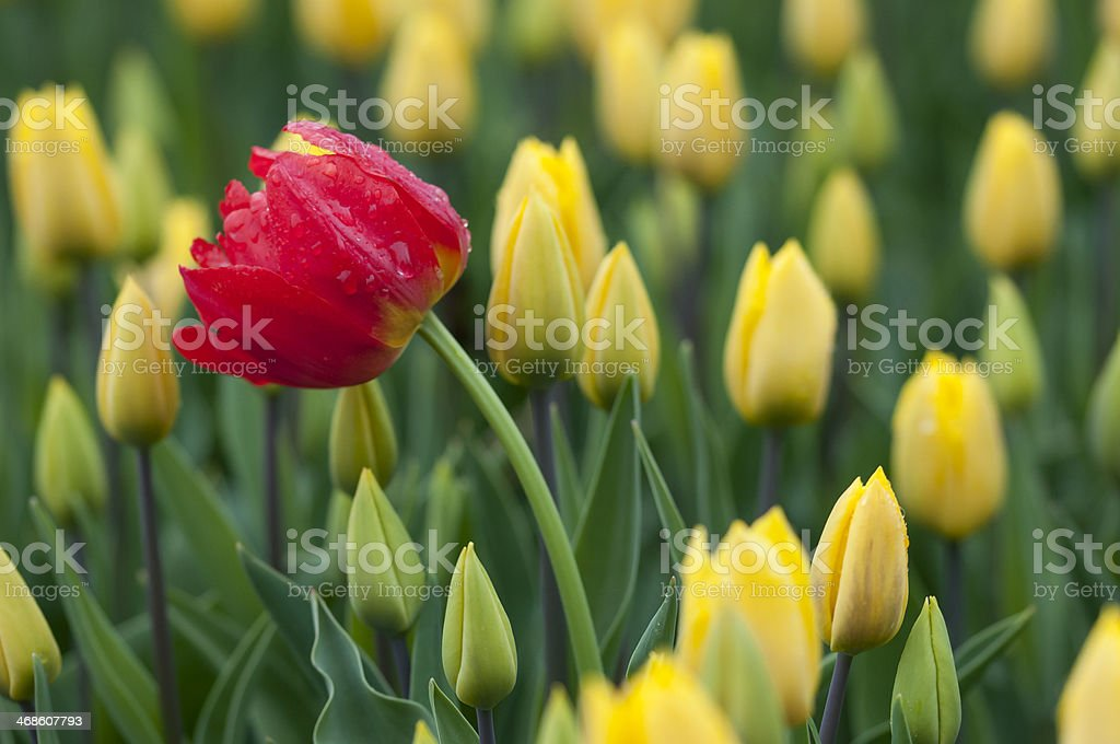 Single red tulip in field with yellow tulips royalty-free stock photo