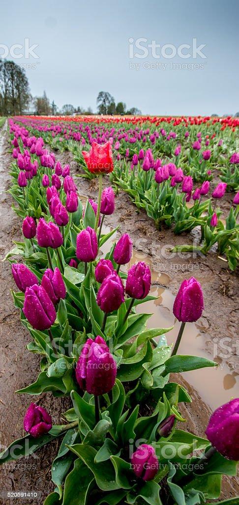 Single Red Tulips Stands Out Portland Oregon Tulip Farm Springtime stock photo