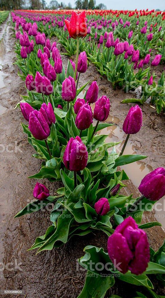 Single Red Tullip Among Purple Fields Portland Oregon Spring Flowers stock photo