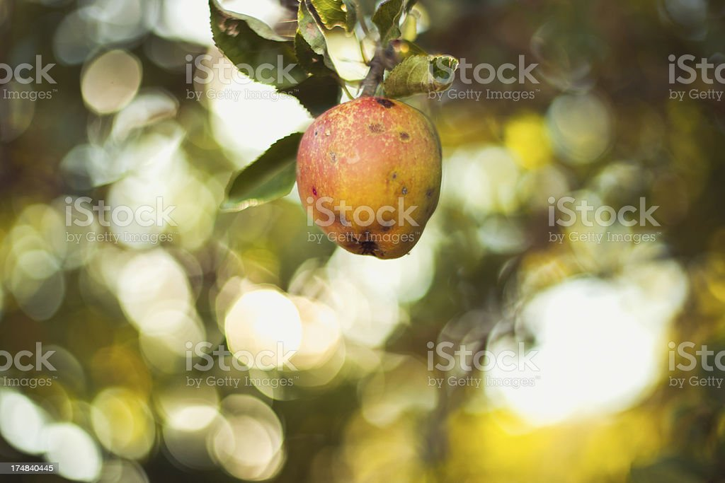 Single Ripe Summer Apple Hanging from Tree Branch stock photo