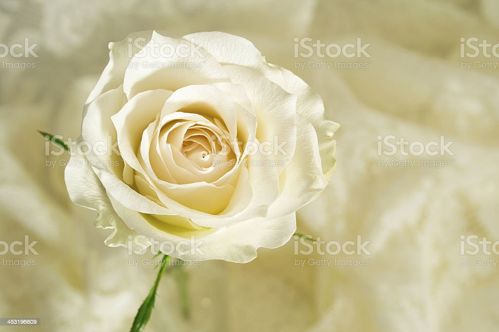 Single Rose for the loved one, cream colored. royalty-free stock photo