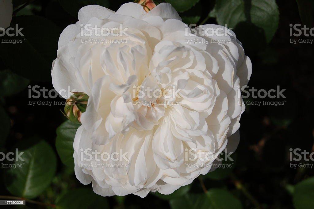 Jedna róża zbiór zdjęć royalty-free