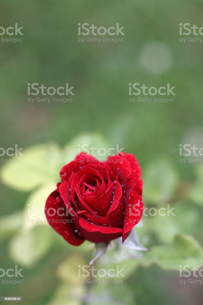 single rose royalty-free stock photo