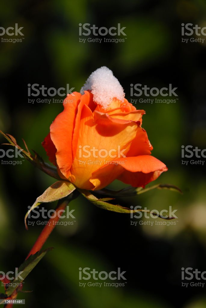 Single Rose with Snow stock photo