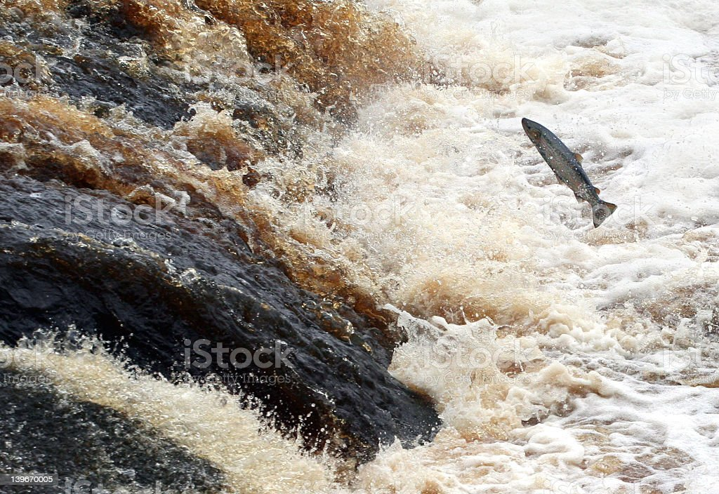Single Salmon Jumps for Gold royalty-free stock photo