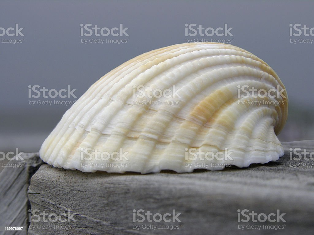 Single Sea Shell stock photo