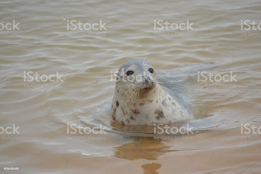 Single Seal Swiiming in the Sea stock photo