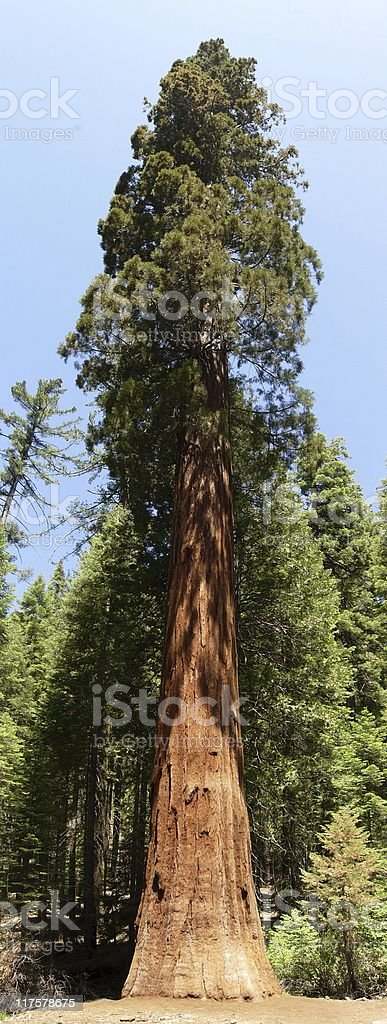 Single Sequoia Tree stock photo