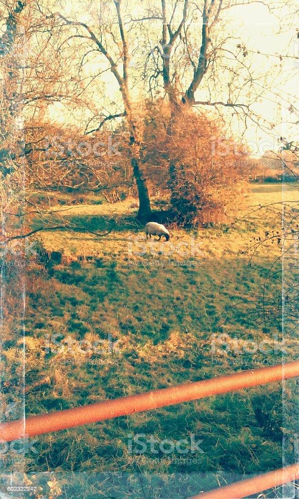 Single sheep in rual setting. stock photo