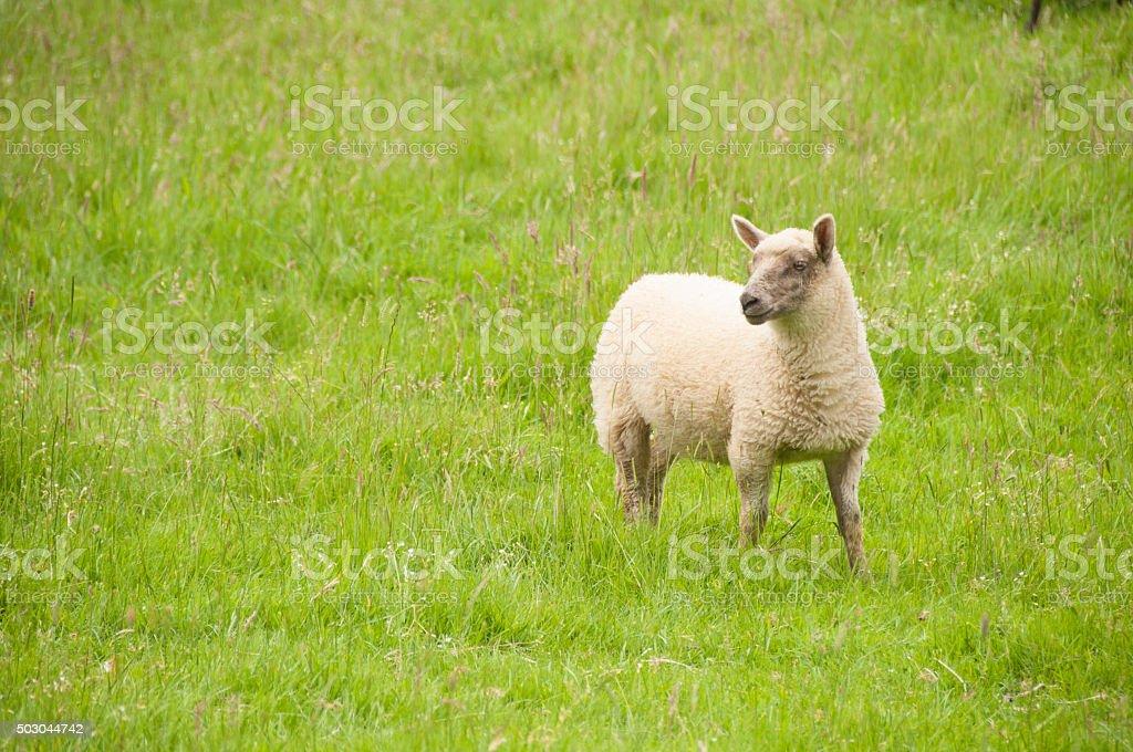 Single sheep stock photo