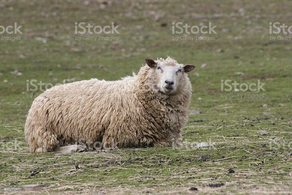 Single Sheep royalty-free stock photo
