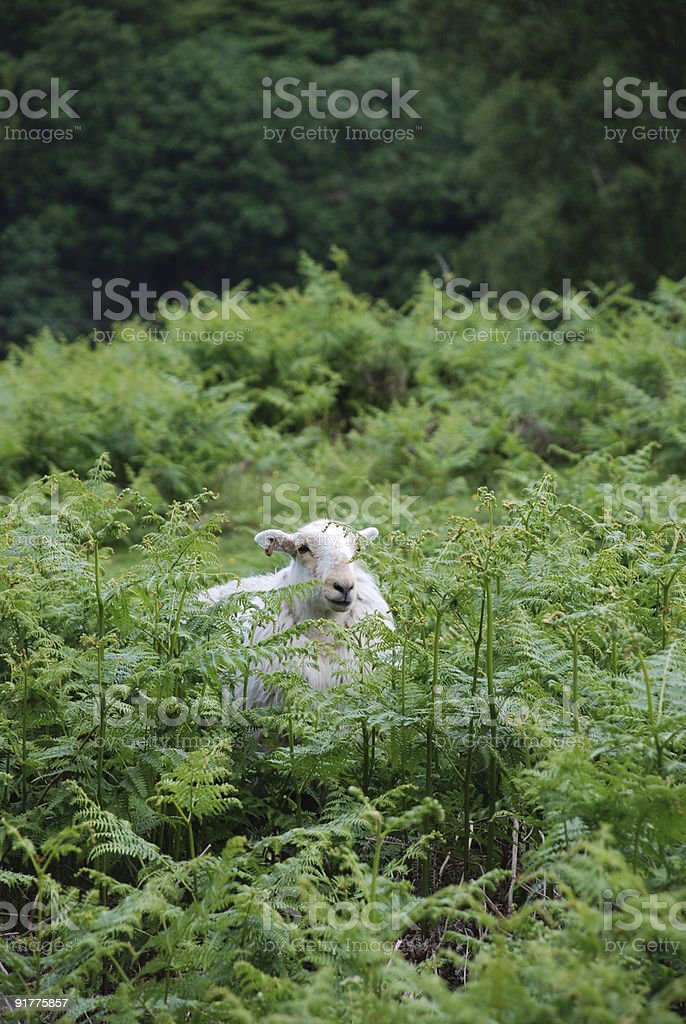 Single Sheep Resting royalty-free stock photo