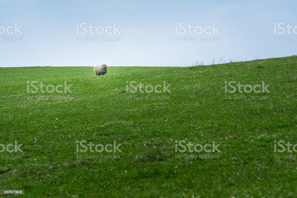Single Sheep standing on a Greenfield stock photo