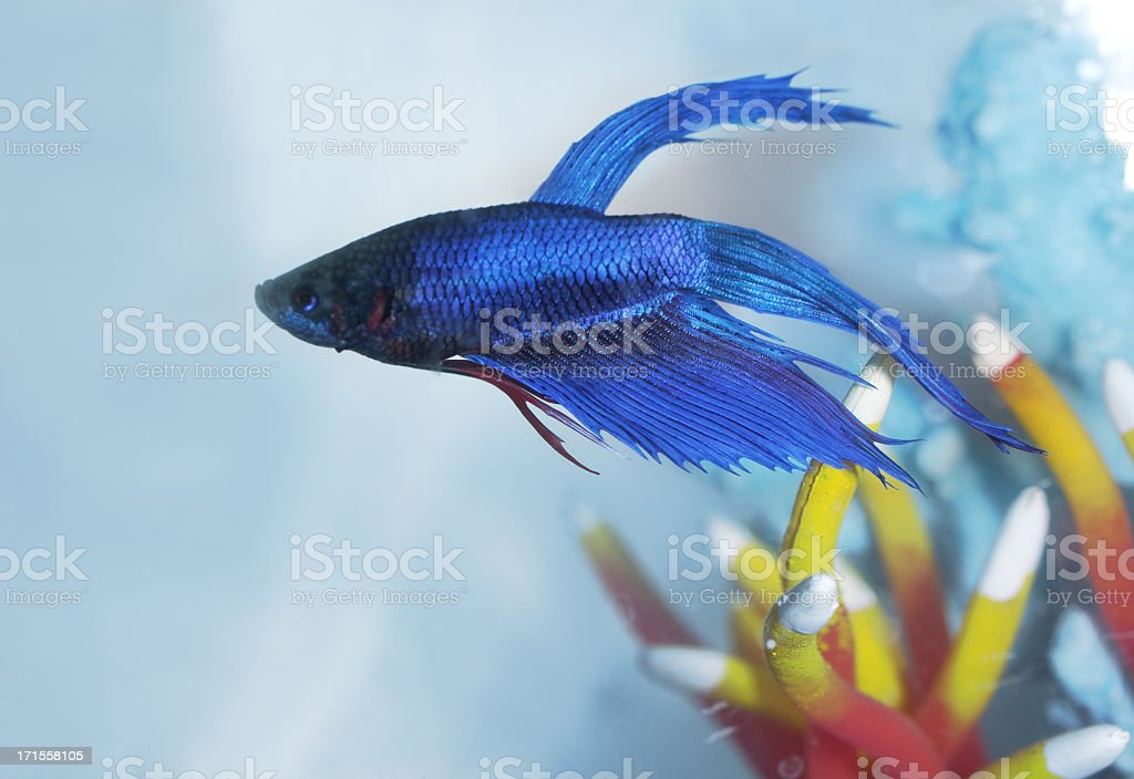 Single Siamese fighting fish close up stock photo