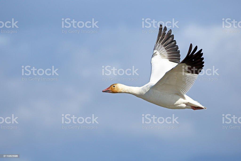 Single Snow Goose in Flight, Canada stock photo