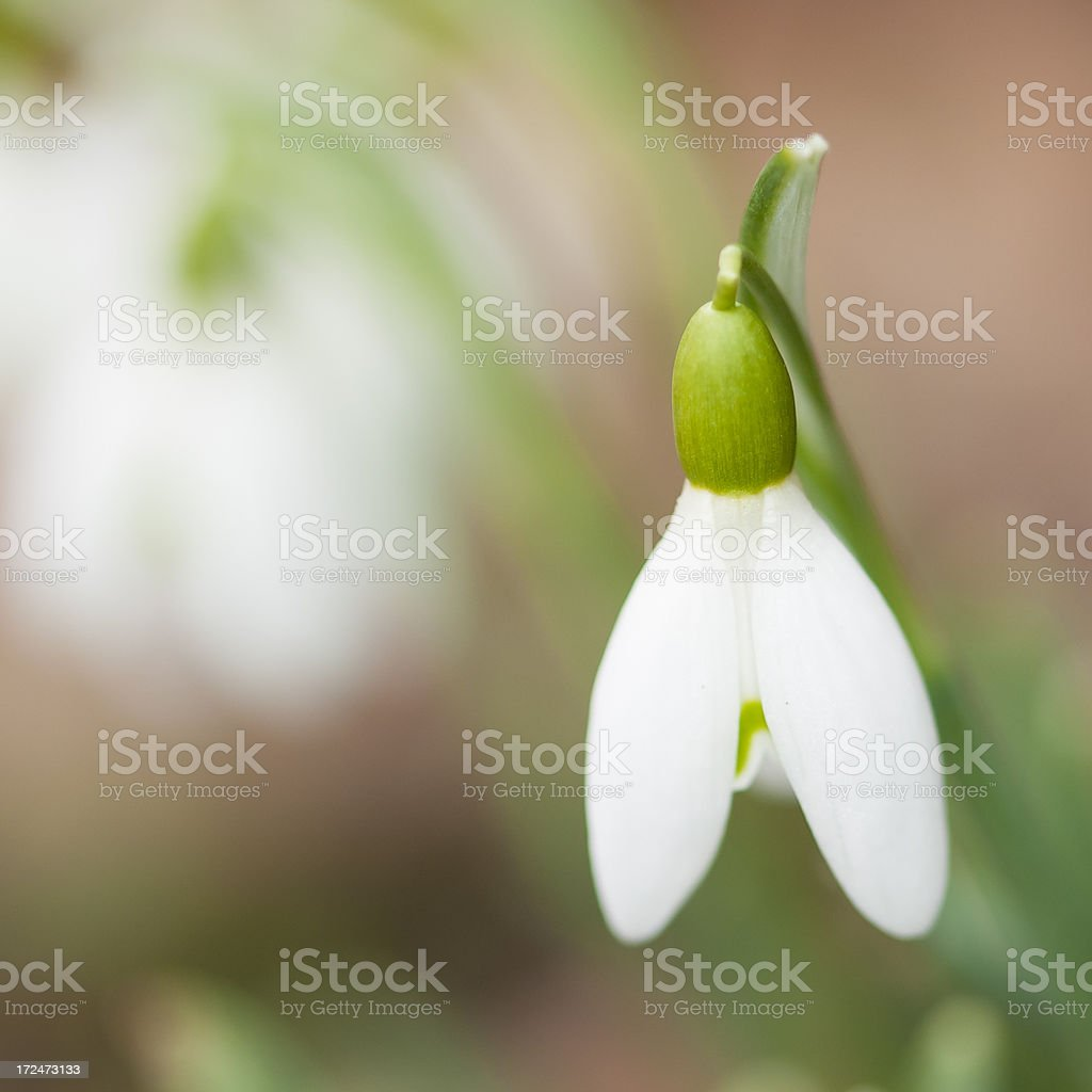 Single snowdrop royalty-free stock photo