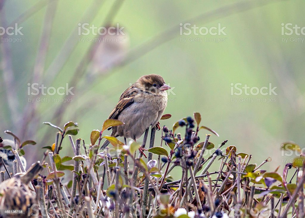 Single sparrow sitting on top of a hedge stock photo