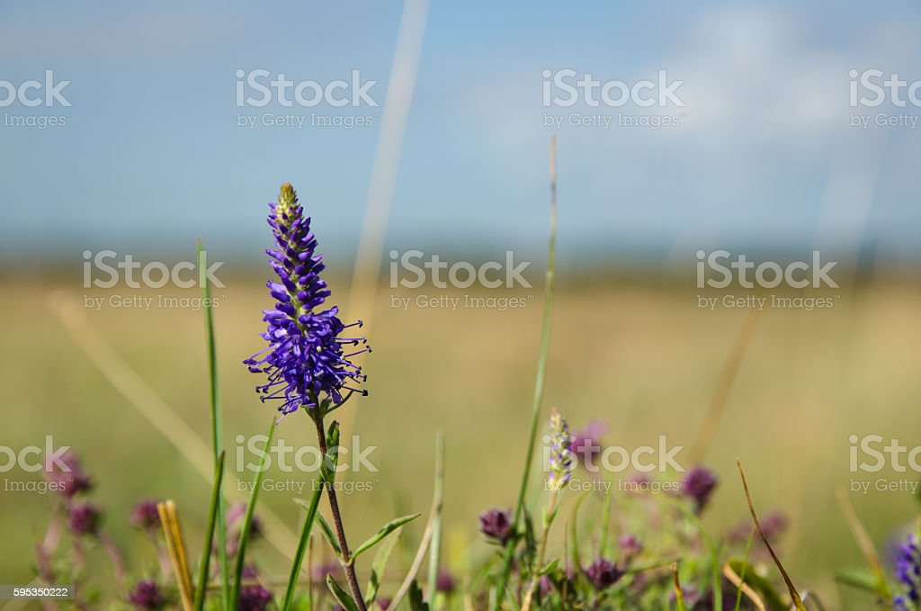 Single Spiked Veronica flower stock photo