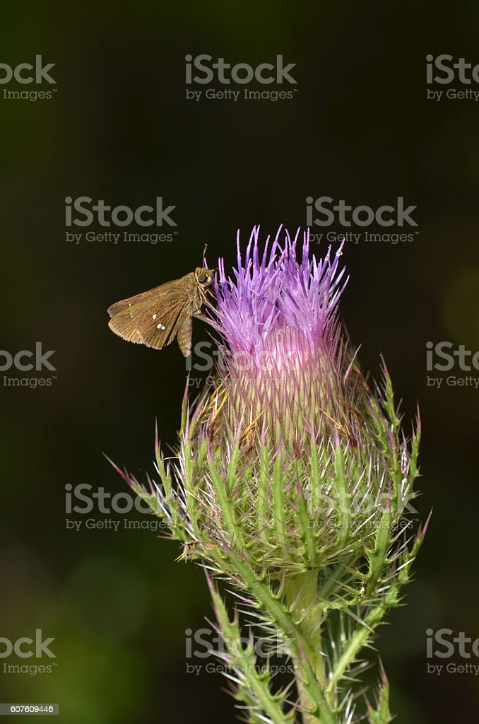 Single spotted butterfly on opening purple thistle flower stock photo
