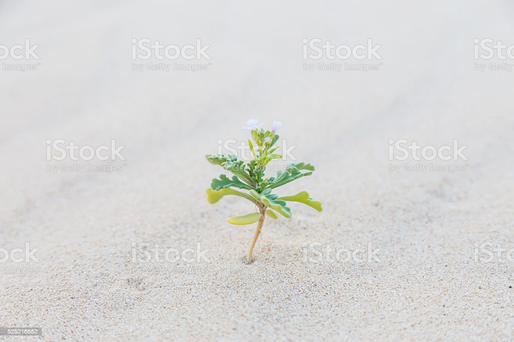 Single sprout blooming in desert sands. stock photo