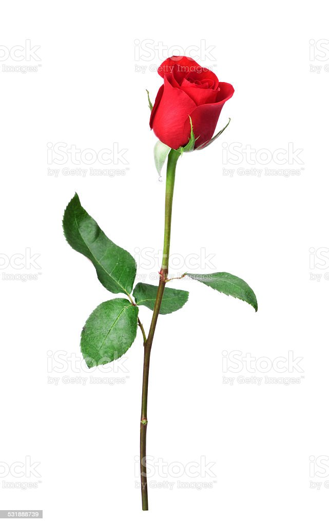 Single stem red rose isolated on white stock photo