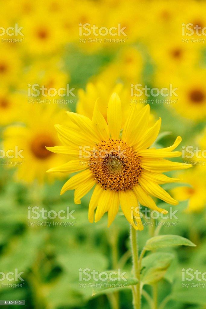 A single sun flower stock photo