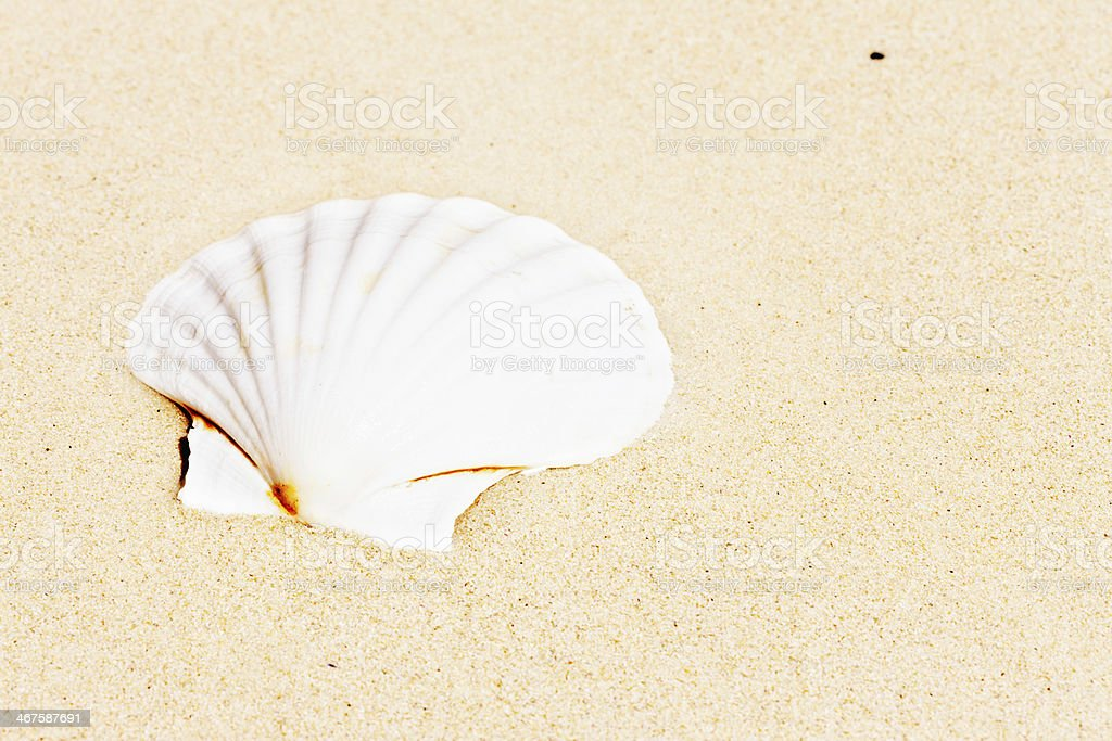 Single sunbleached cockle shell on sandy beach royalty-free stock photo