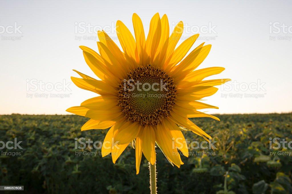 Single sunflower head in front of setting sun stock photo