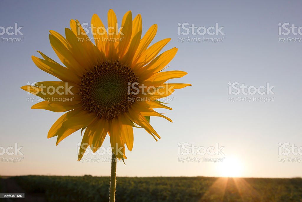 Single sunflower head isolated  at sunset of a summer day stock photo