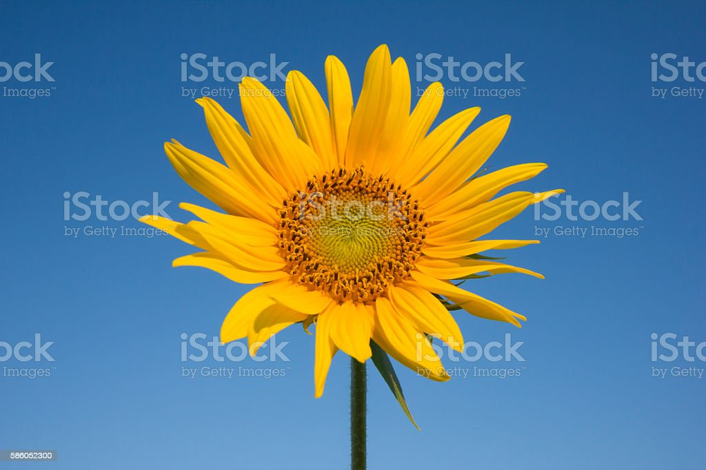 Single sunflower head isolated on clear blue sky stock photo