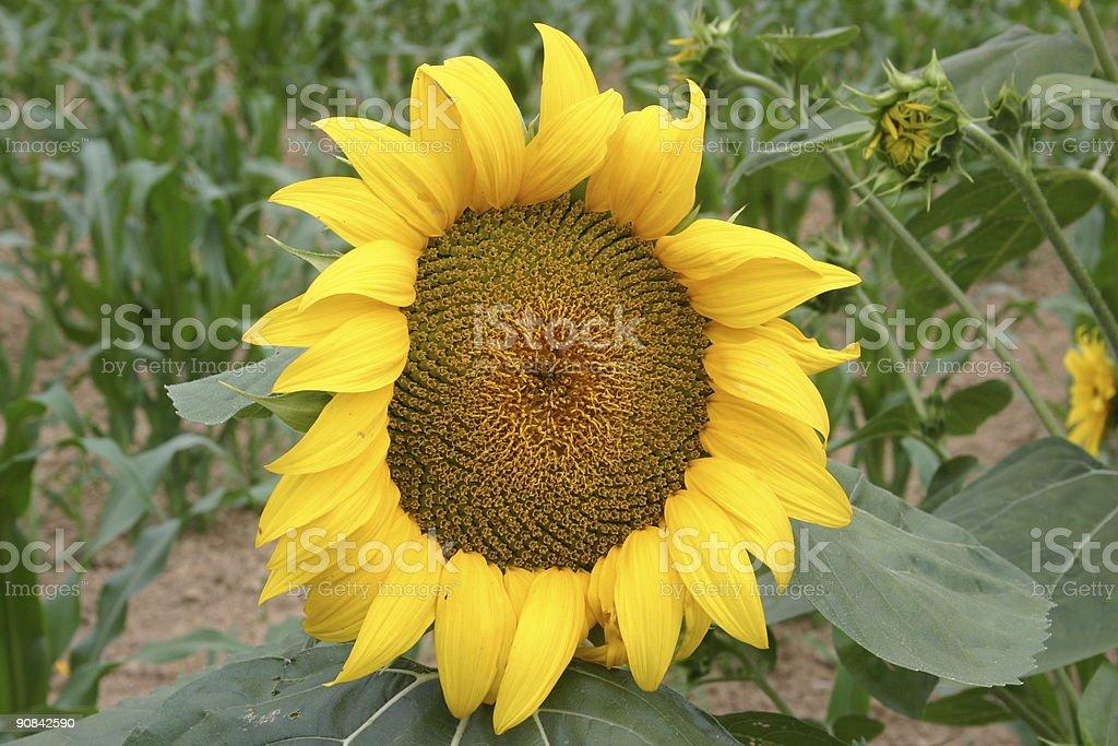 Single Sunflower royalty-free stock photo