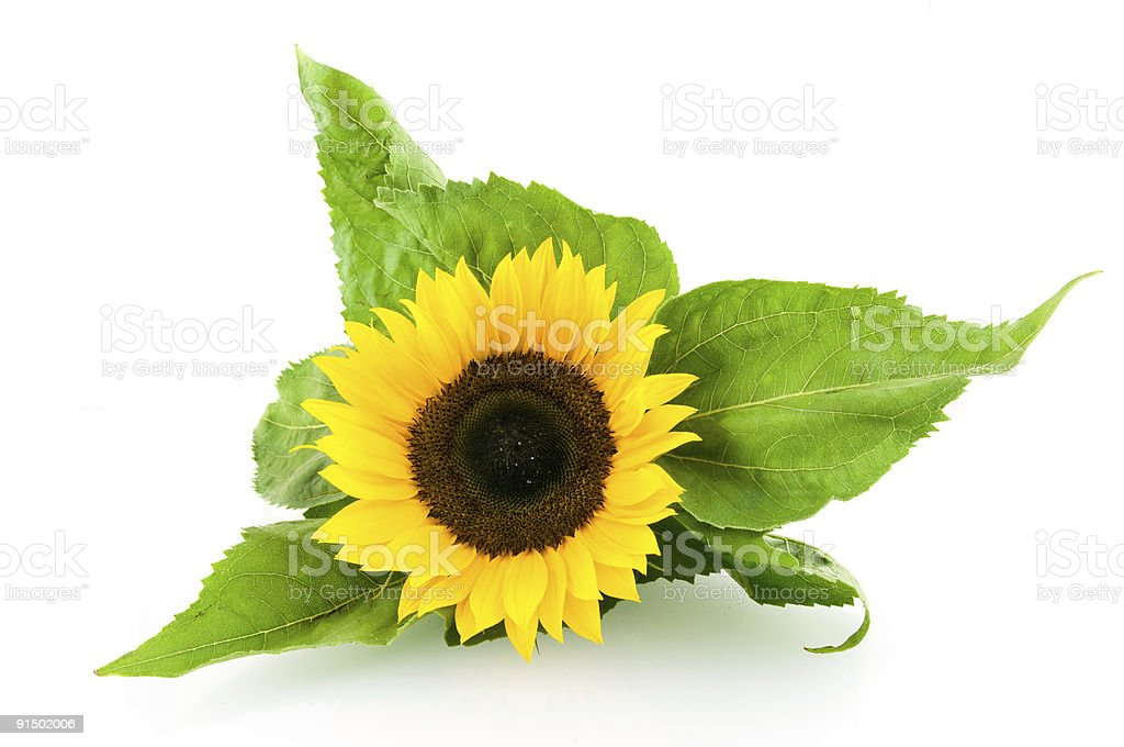 Tournesol simple photo libre de droits