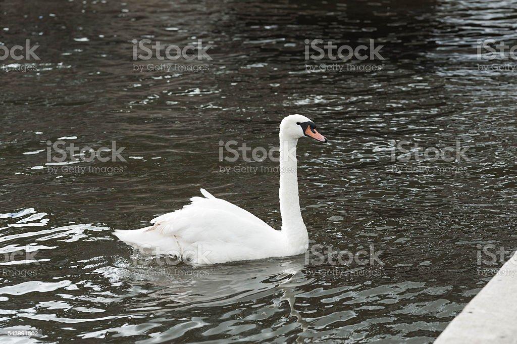 Single Swan stock photo