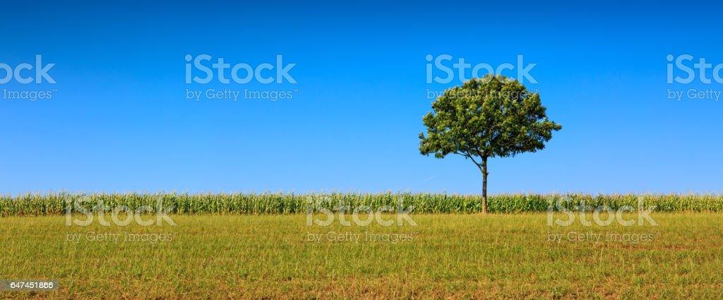 Single tree and blue sky stock photo