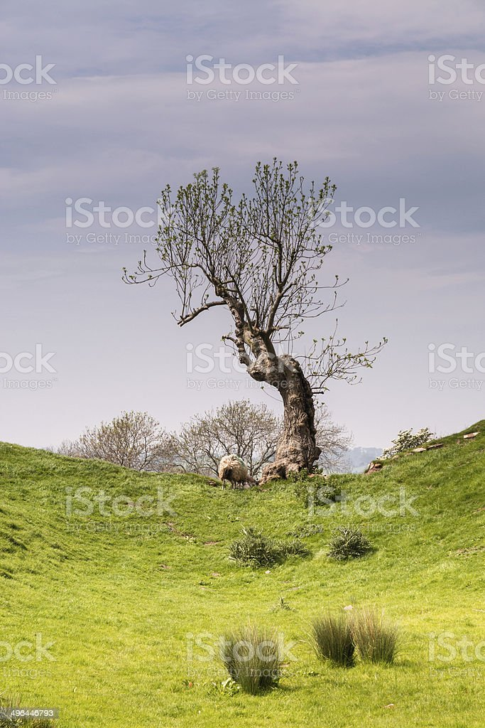 Single tree at Brough Castle stock photo